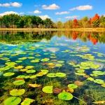 Листья кувшинок в озере