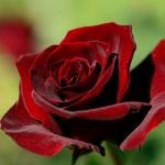 Бордовая бархатная роза