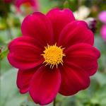 Бордовый цветок